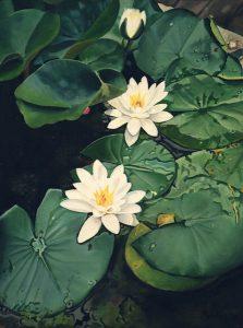 My own waterlillies (1993) - oil on linen - 40 x 30 cm - Sold